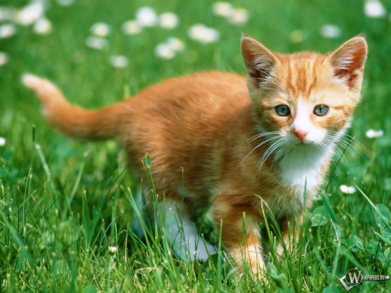 Рыжий котенок в траве 1600x1200