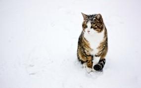 Обои кот на снегу: Снег, Кот, Кошки