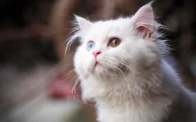 Обои Разноглазый кот: Глаза, Взгляд, Кот, Белый, Кошки