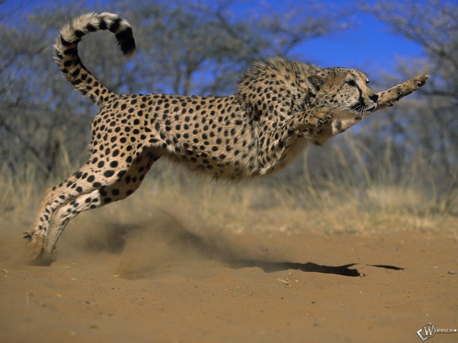 Гепард в прыжке 1600x1200
