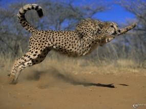 Обои Гепард в прыжке: Гепард, Прыжок, Гепарды