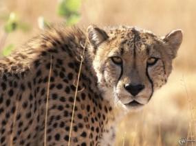 Обои Морда гепарда: Морда, Гепард, Гепарды