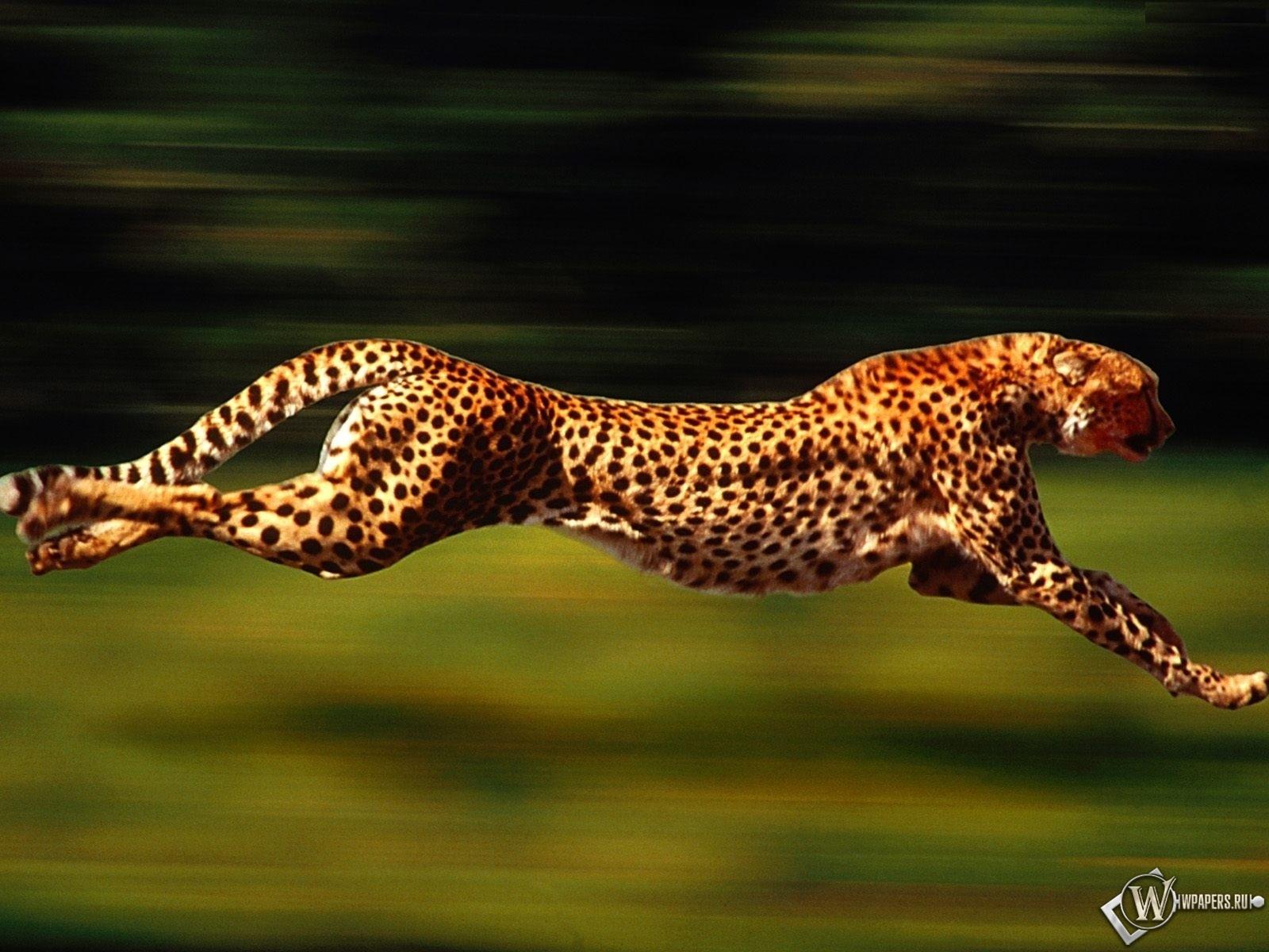 Бегущий гепард 1600x1200