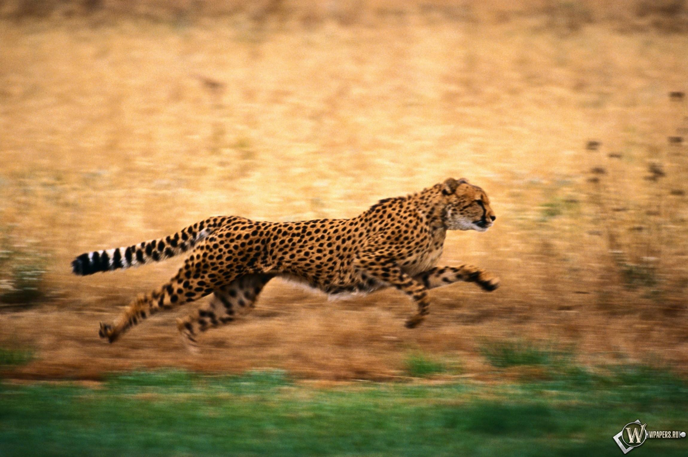 Гепард бежит 2300x1530