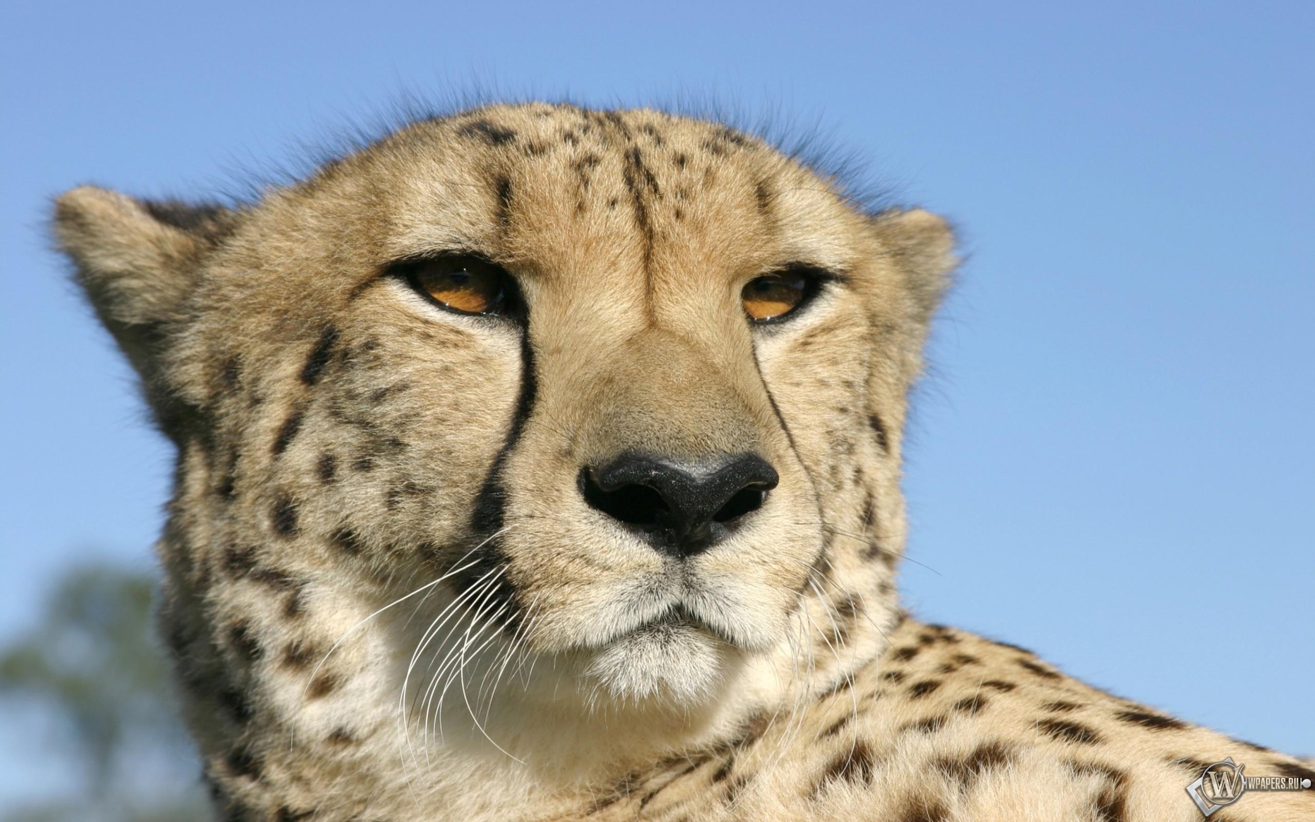 Голова гепарда 2560x1600