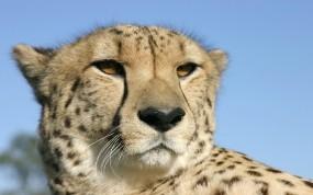 Обои Голова гепарда: Морда, Гепард, Голова, Гепарды