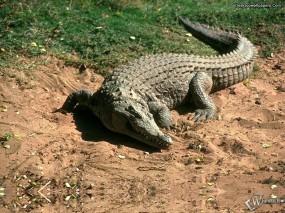 Обои Крокодил на песке: , Крокодилы