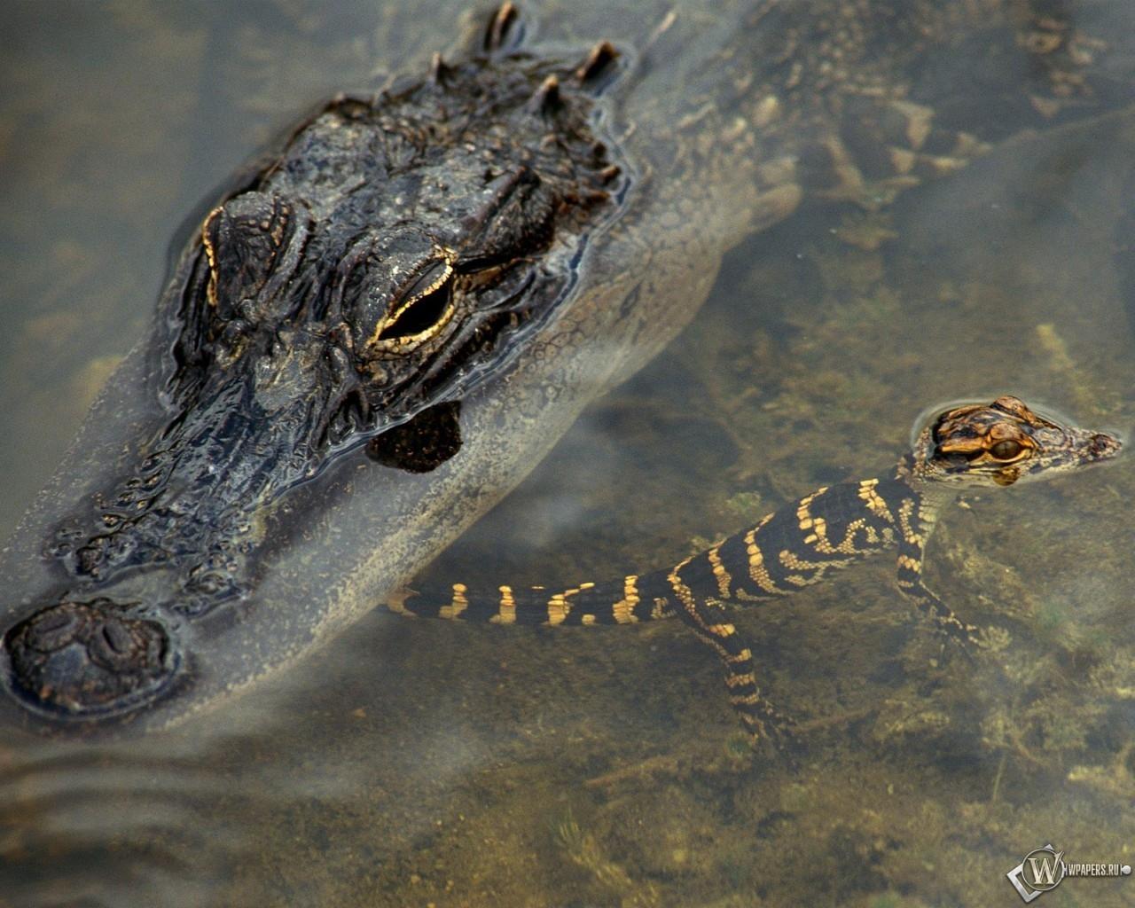 Крокодил с крокодиленышем 1280x1024
