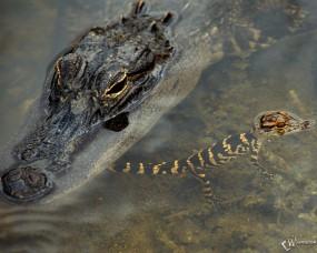 Обои Крокодил с крокодиленышем: Крокодил, Крокодилёнок, Крокодилы