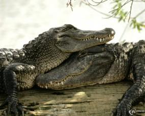 Обои Два крокодила: , Крокодилы