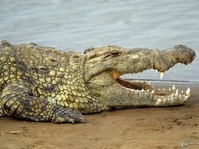 Обои Большой крокодил: , Крокодилы