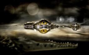 Обои Глаз крокодила: Глаз, Под водой, Крокодил, Крокодилы