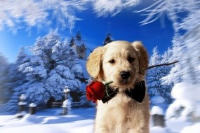 Обои Щенок с розой: Зима, Роза, Щенок, Собачка, Собаки