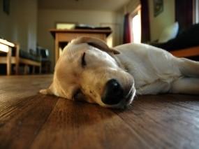 Обои Спящий пес: Комната, Сон, Собака, Пол, Собаки