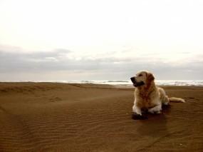 Обои Лабрадор на песке: Пляж, Песок, Небо, Лабрадор, Собака, Собаки