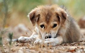 Обои Милый щенок: Взгляд, Щенок, Макро, Собаки