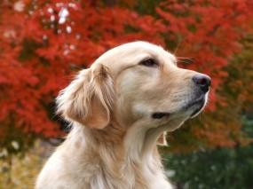Обои Золотистый ретривер: Осень, Собака, Собаки