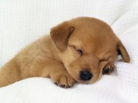 Обои Спящий пёсик: Сон, Щенок, Собаки