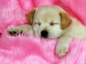 Обои Спящий щенок: Щенок, Розовый, Собаки