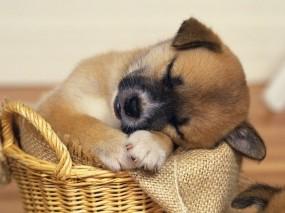 Обои Щенок уснул: Сон, Щенок, Корзина, Собаки