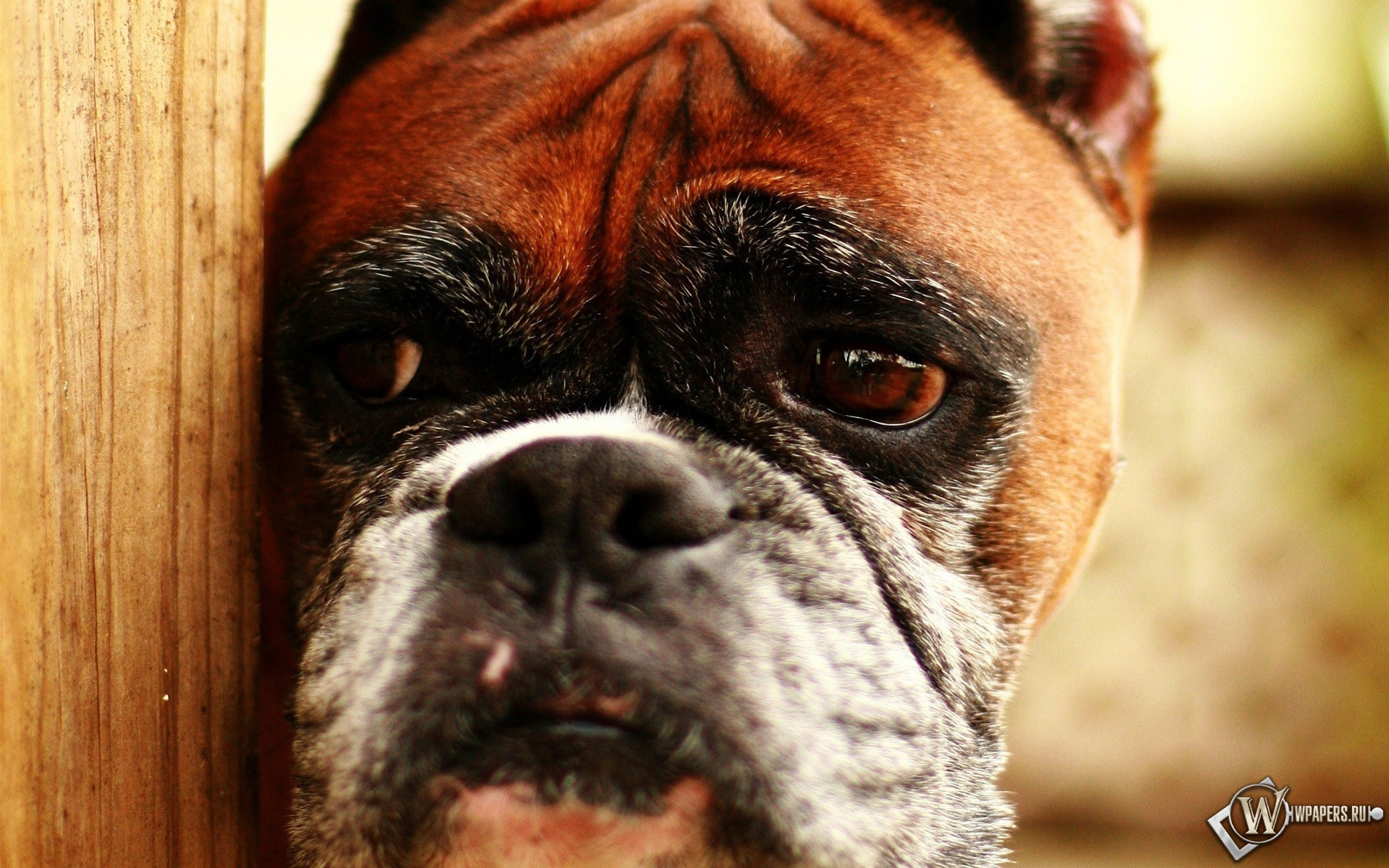 Печальная собака 1920x1200