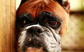 Обои Печальная собака: Взгляд, Морда, Собака, Собаки