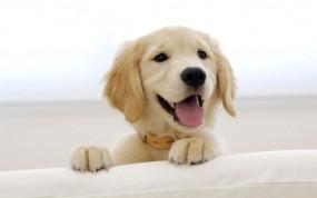 Обои Золотистый ретривер: Улыбка, Взгляд, Щенок, Собака, Собаки