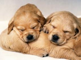 Обои Спящие щенки: Сон, Щенок, Собака, Собаки