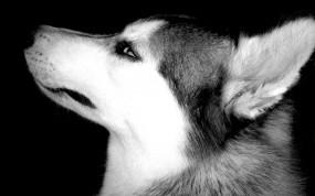 Обои Хаски: Глаза, Морда, Собака, Хаски, Собаки