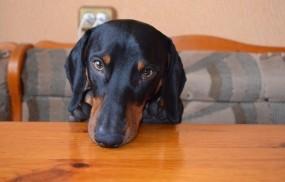 Обои Хозяин стола: Собака, Такса, Собаки