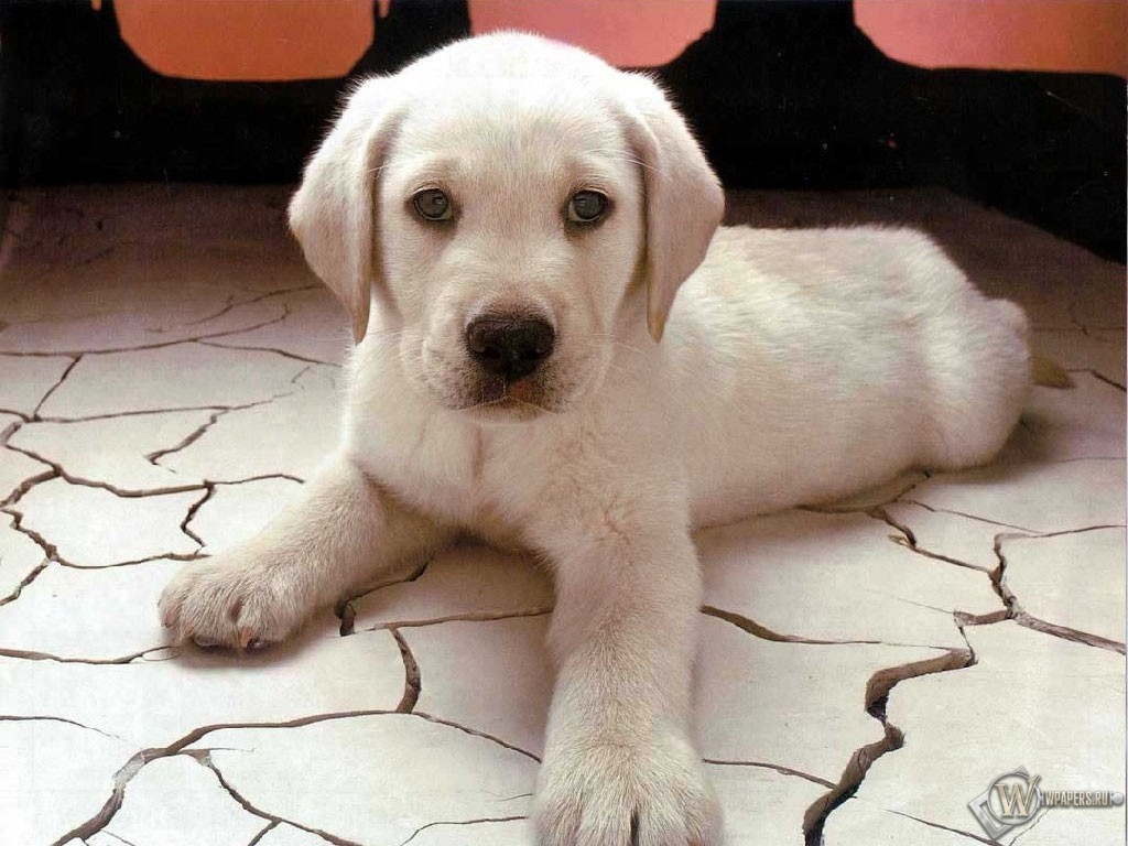 Белый щенок 1024x768