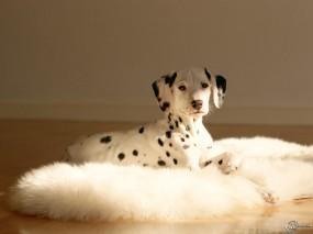 Обои Далматинец: , Собаки
