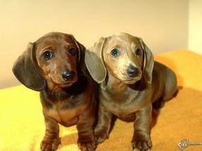 Обои Две маленькие таксы: , Собаки