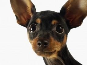 Обои Чихуахуа: Глаза, Собака, Чихуахуа, Уши, Собаки