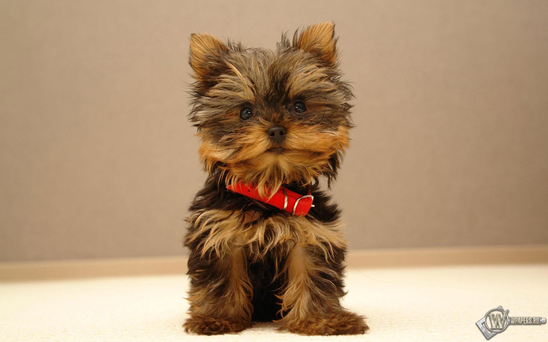 Маленькая собачка 1920x1200