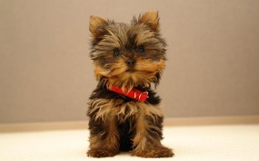 Обои Маленькая собачка: Щенок, Собачка, Собаки