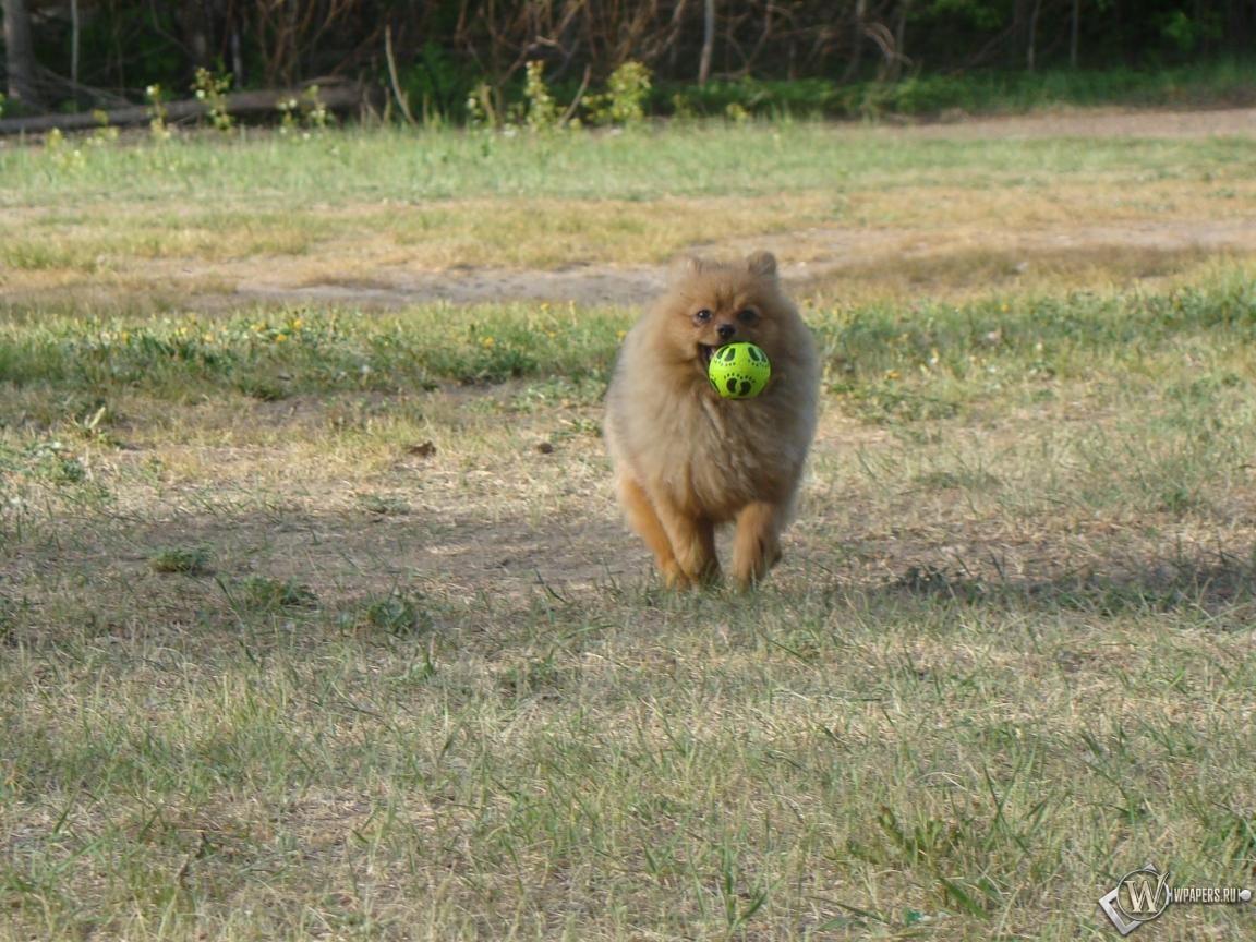Шпиц с мячиком 1152x864