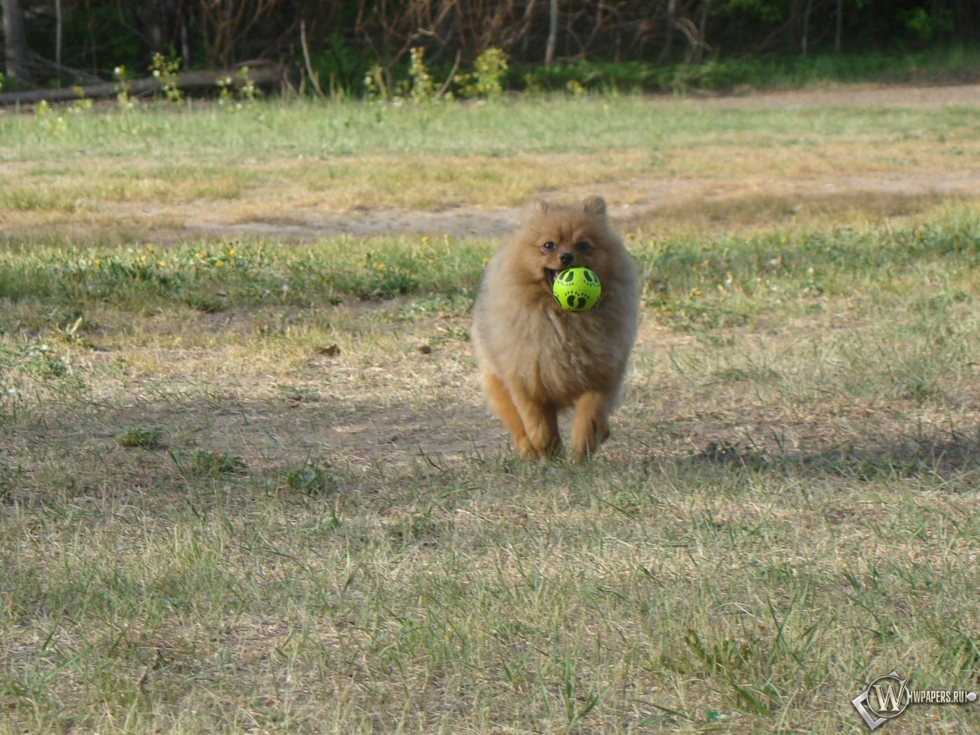 Шпиц с мячиком 1400x1050