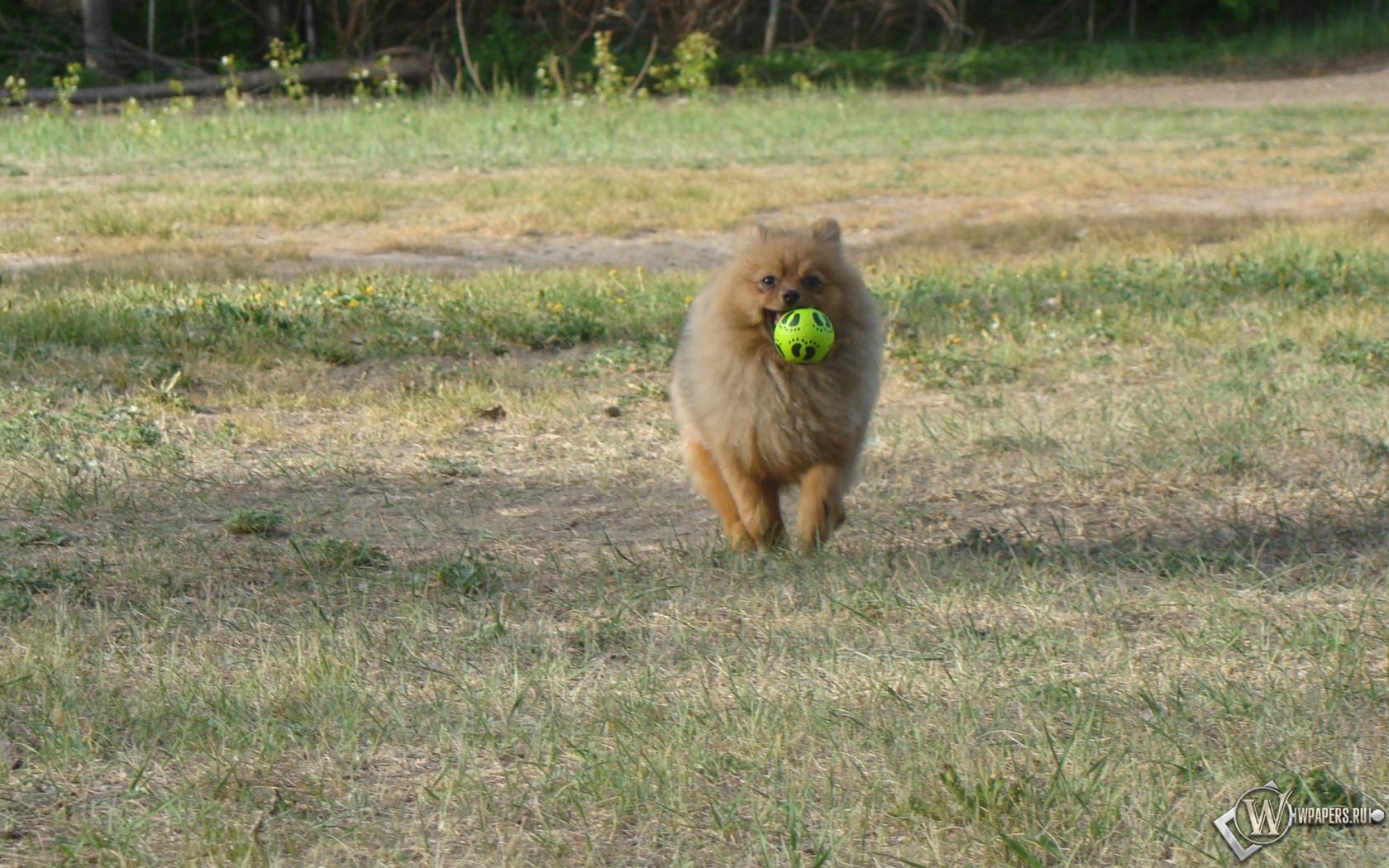 Шпиц с мячиком 1680x1050