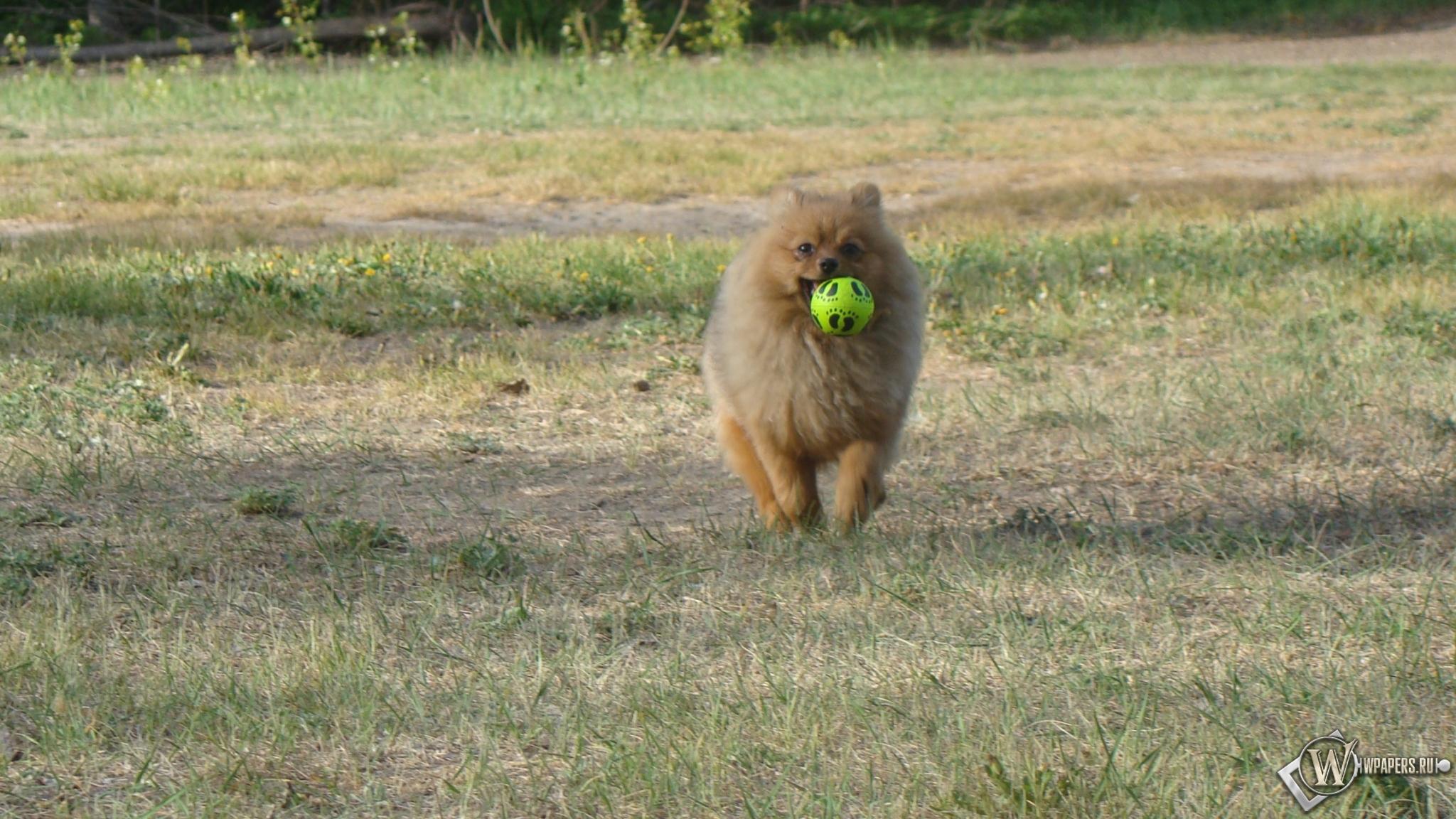 Шпиц с мячиком 2048x1152