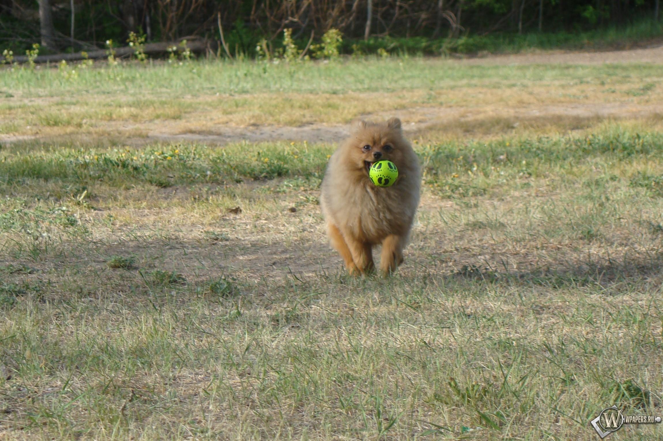 Шпиц с мячиком 2300x1530