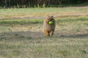 Обои Шпиц с мячиком: Поле, Мячик, Травка, Собачка, Шпиц, Собаки