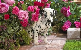 Обои Далматинец в цветах: Цветы, Бутоны, Далматинец, Собаки