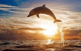 Обои Прыжок дельфина: Море, Закат, Дельфин, Дельфины