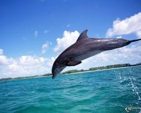 Обои Дельфин в прыжке: Прыжок, Дельфин, Дельфины