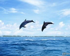 Обои Прыгающие дельфины: Прыжок, Дельфины, Дельфины