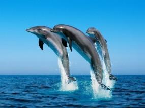 Обои Дельфины прыгают: Море, Прыжок, Дельфины, Дельфины