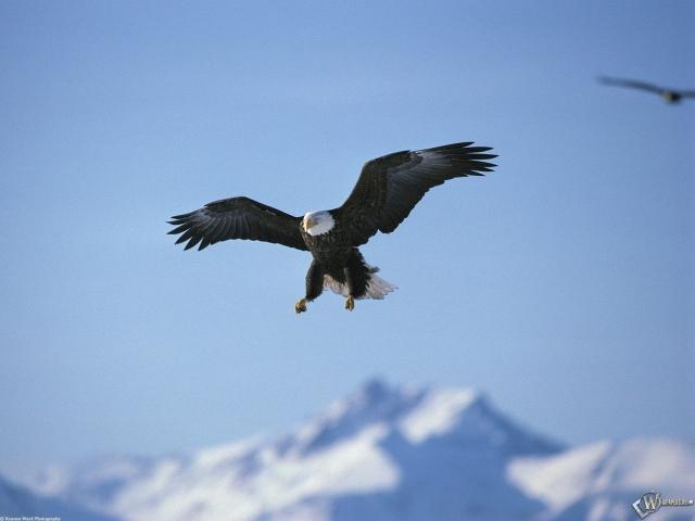 Орел на охоте