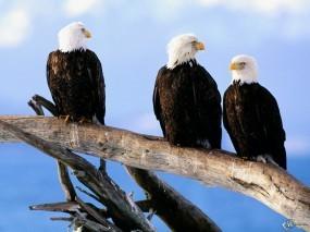 Обои Три орла: , Орлы