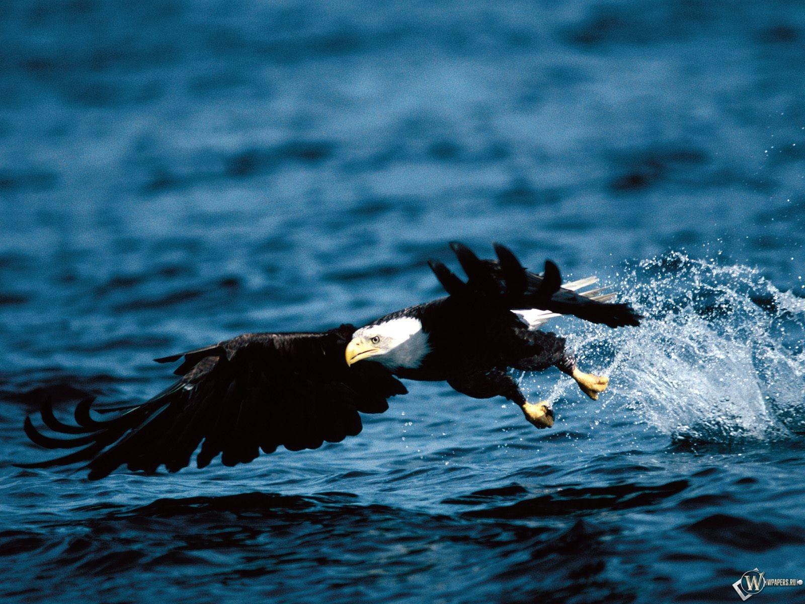 Орел ловит рыбу 1600x1200